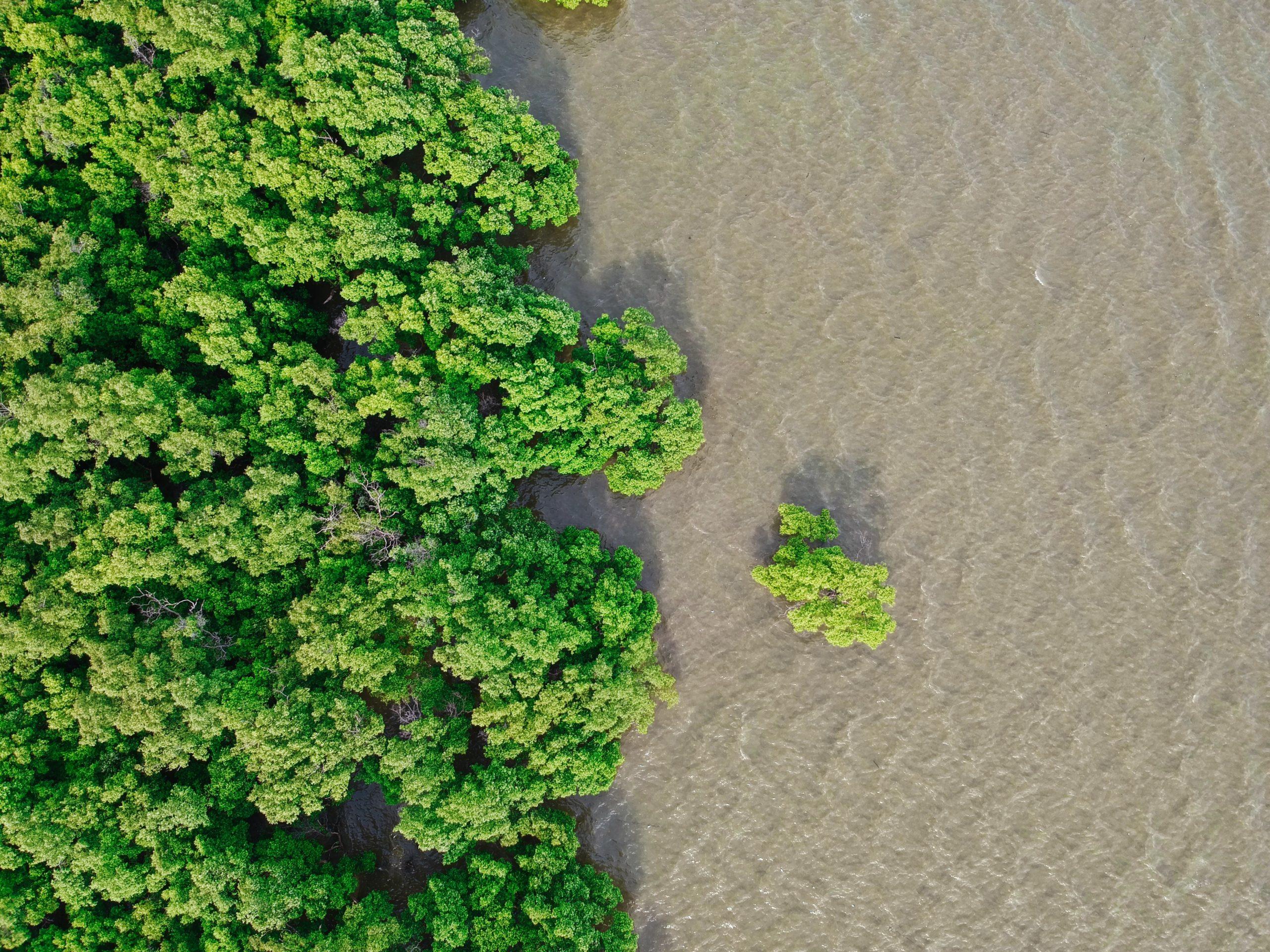 Les mangroves : racines de l'océan