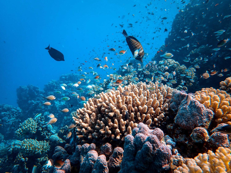 La transplantation ou comment faire renaître les récifs coralliens
