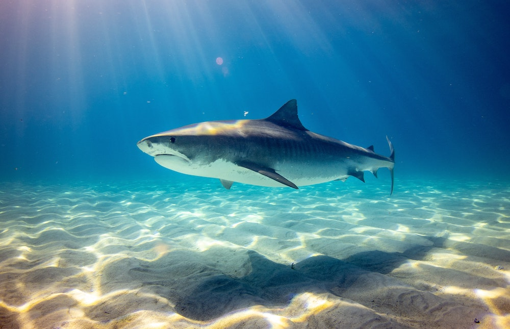 Stop Finning EU : mettre fin au commerce d'ailerons de requins